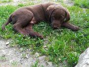 Labrador-Münsterländer Welpen