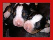 Appenzeller Sennenhund Welpen ab dem