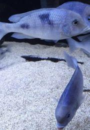 Cyrtocara Moorii Malawibuntbarsche Aquarium