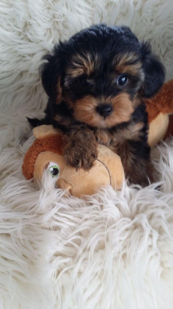 Wurfankündigung Yorkiepoo Welpen In Hengersberg Hunde Kaufen Und
