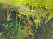 Fadenfische - Trichogaster trichopterus Jungfische