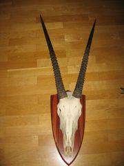 Oryx Antilope Trophäe Afrika Schädel