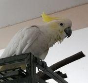Kakadu zu verkaufen