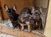 Französische Bulldoggen 6 Monate