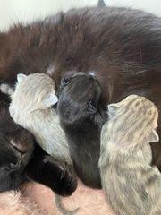BHK kitten Scottish Fold 3