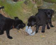 Kräftige Labrador Welpen mit Papieren