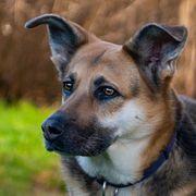 Ira 7 Jahre - Collie-Schäferhund-Shepherd-Mix - Tierhilfe