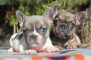 gute Qualität französische Bulldogge Welpen