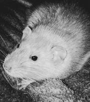 Ratten Gnadenhof- Notstelle löst sich