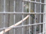 Barabandsittiche in Graugrün zu Verkaufen