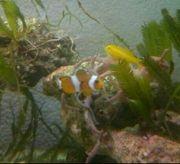 Meerwasser Clownfisch Grundel Lippfisch