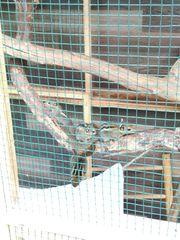 Baumstreifenhörnchen tamiops swinhoei