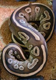 python regius königspython mojave weibchen