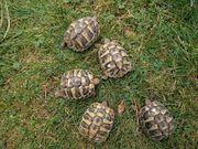 Gr Landschildkröten