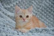 Wunderschöne reinrassige Scottich Fold Babykatzen -