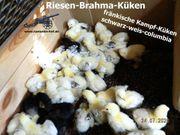 RIESEN Brahma Küken vom 12