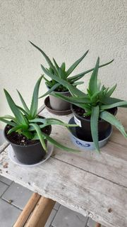 3 Aloe-Vera Stöcke zu verkaufen