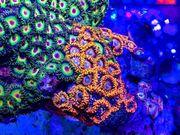 Zoanthus Blondies BBEB - Krustenanemonen Meerwasser