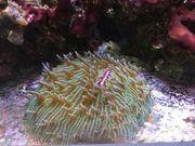 Fungia LPS Koralle Meerwasser