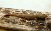 Biete 0 2 Lygodactylus conraui