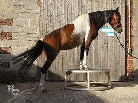 Pferde - Wunderschöne Dartmoor Hill Stute
