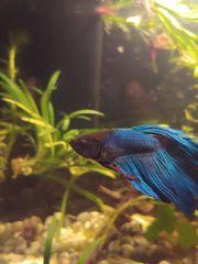Kampffisch Männchen Garnelen und Becken