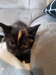 Mix kitten abzugeben Perser scottish