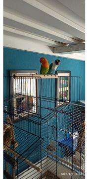 Paar Papageien Agapordiden ein Pfirsichköpfchen