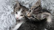 Zwei kleine Katzenkinder Kater