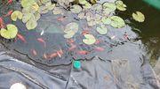 Große Goldfische für den Teich