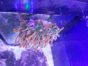 RESERVIERT Meerwasser Kupferanemone Anemone sunburst