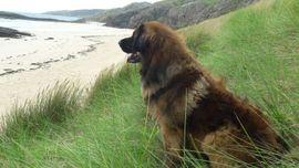 Hunde - Wurfankündigung Reinrassige Leonberger-Welpen mit Ahnentafel