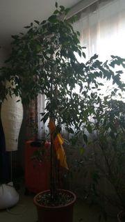Schönen Ficus Benjamini abzugeben