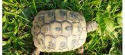 Griechische Landschildkröte 2018 Schildkröte Testudo