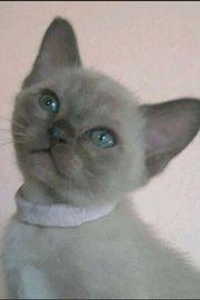Katze Kitten Burma Mädchen Chocolate