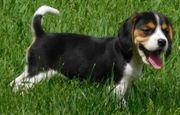 10 Wochen Beagle Welpen mit