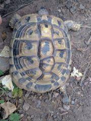 Griechische Landschildkröte Schildkröte entlaufen