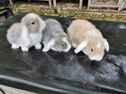 Sehr süße Zwergwidder Hasen Babys