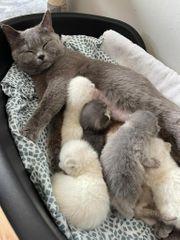 BKH süße Kätzchen zu verkaufen