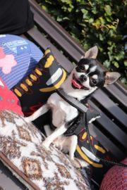Chihuahua Deckrude mit Ahnentafel