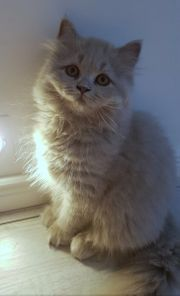 Wunderschöne reinrassige BLH Kitten