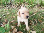 knuffiger reinrassiger Labrador Welpe Rüde