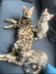 2 Reinrassige Bengal kitten Brown