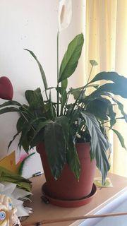 Großes Einblatt Spathiphyllum