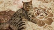 Reinrassige BKH Katze