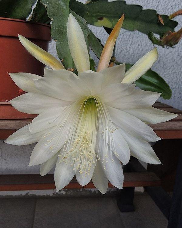 großer Blattkaktus weiss Epiphyllum Kaktus