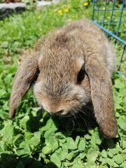 Kaninchen zu verkaufen
