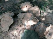 Buche Baumscheibe frisch ca 20cm