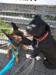 Malinois Labrador Dogge Mix