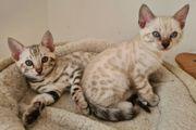 Snow Bengal Kitten Kätzchen reinrassig